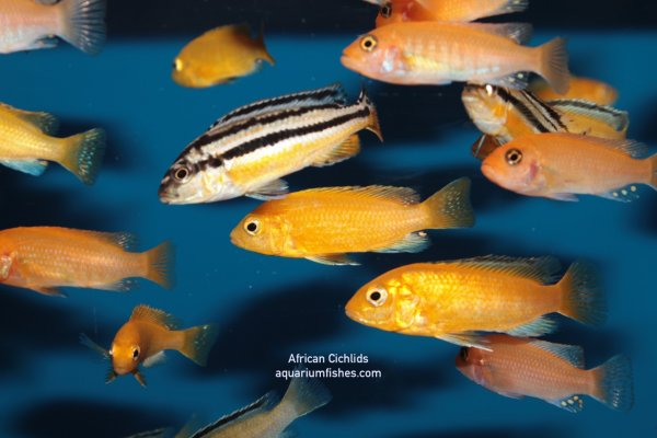 African cichlid types