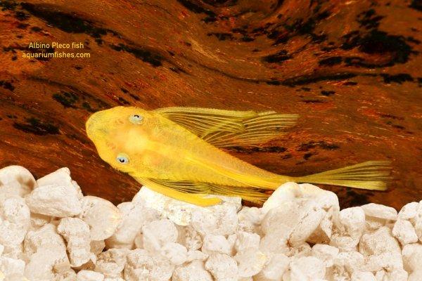 Albino Plecostomus fish