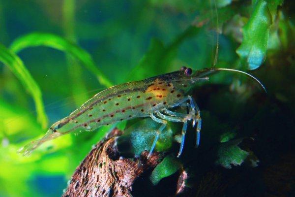 Yamato Shrimp - Algae Eating Shrimp