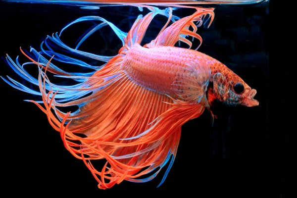 A freshwater betta fish