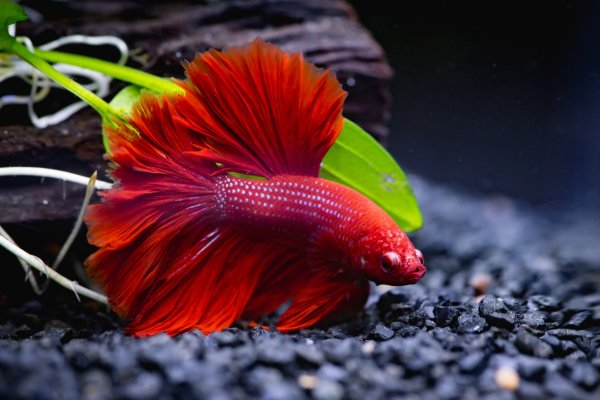 Betta fish tank size