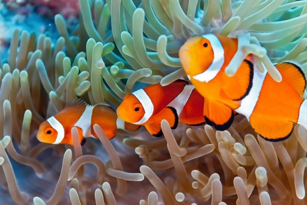 How to care for Clownfish