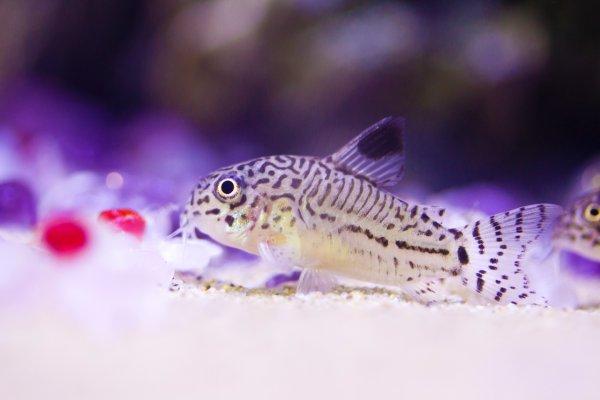 A freshwater cory catfish