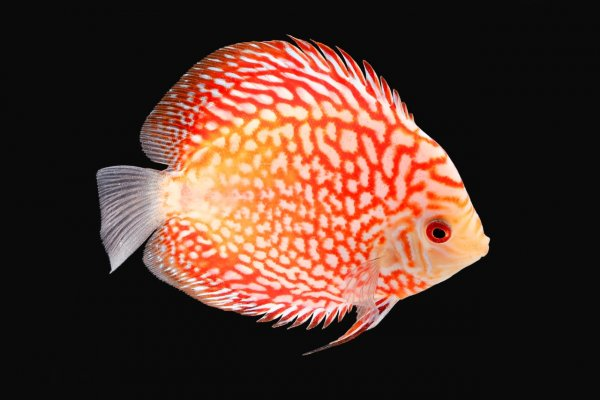 A freshwater discus fish
