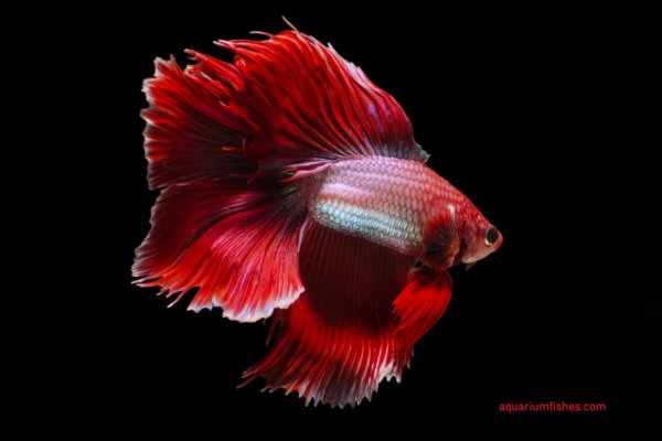Double tail betta fish
