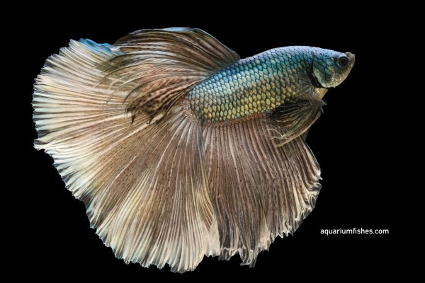 Dragon scale betta fish