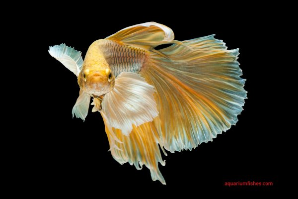 Elephant ear betta or dumbo betta fish