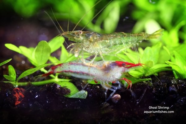 Ghost shrimp - algae eating shrimp