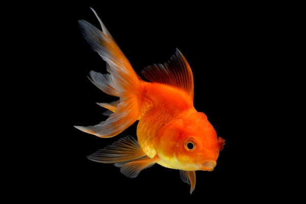 A freshwater gold fish