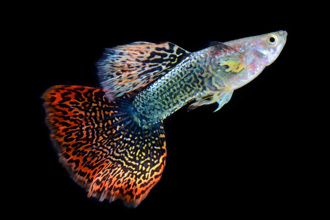 A freshwater guppy fish