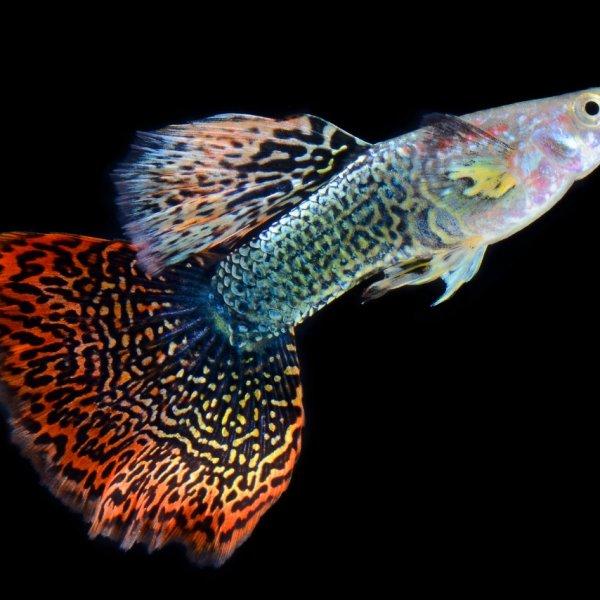 A freshwater guppy fish