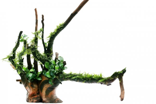 How to grow java moss