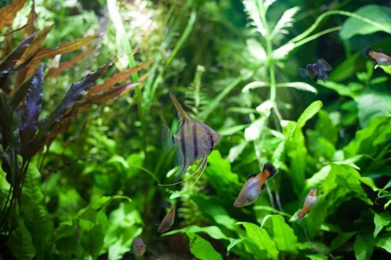Java fern - Microsorum Pteropus