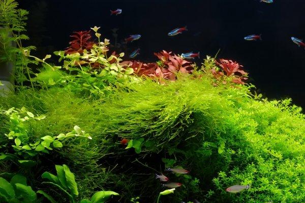 Java moss care