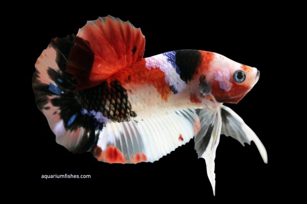 Koi halfmoon betta fish