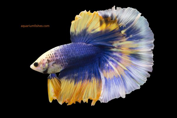Mustard halfmoon butterfy betta fish