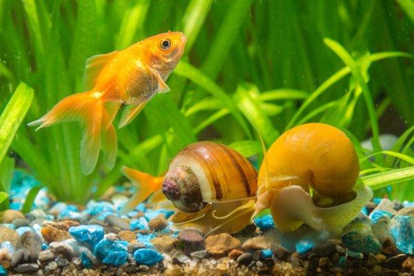 Mystery snail tank size