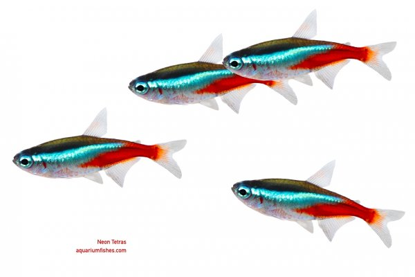 Appearance of Neon tetras
