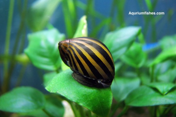 Nerite snail - algae eating snails