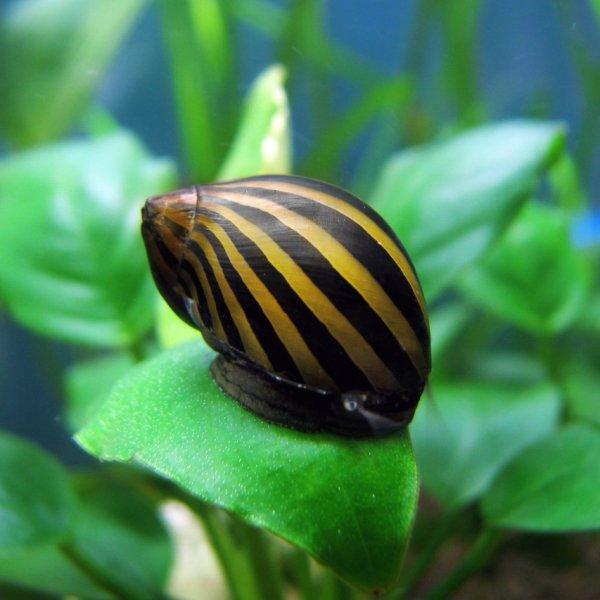 Nerite snails - tiger snail