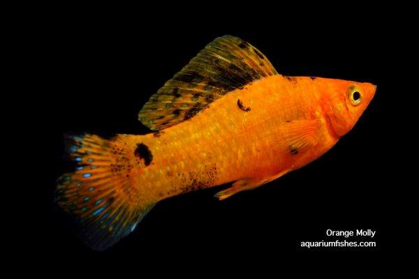 Orange molly fish