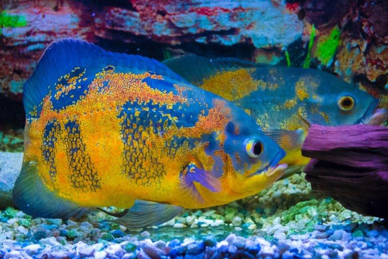 A freshwater oscar fish