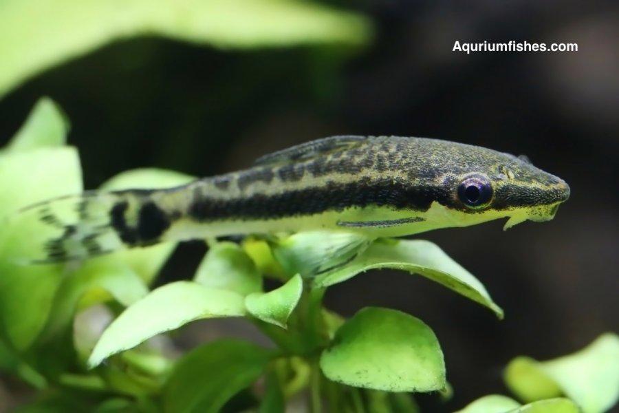 Otocinclus catfish - best algae eaters