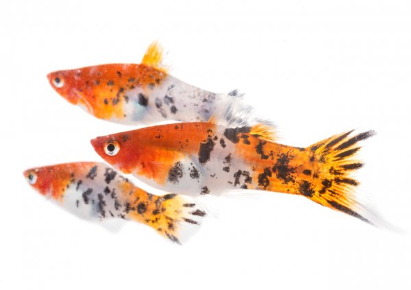 The complete Platy fish care guide