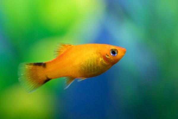 A freshwater platy fish