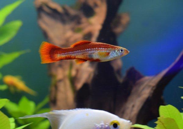 Platy fish care