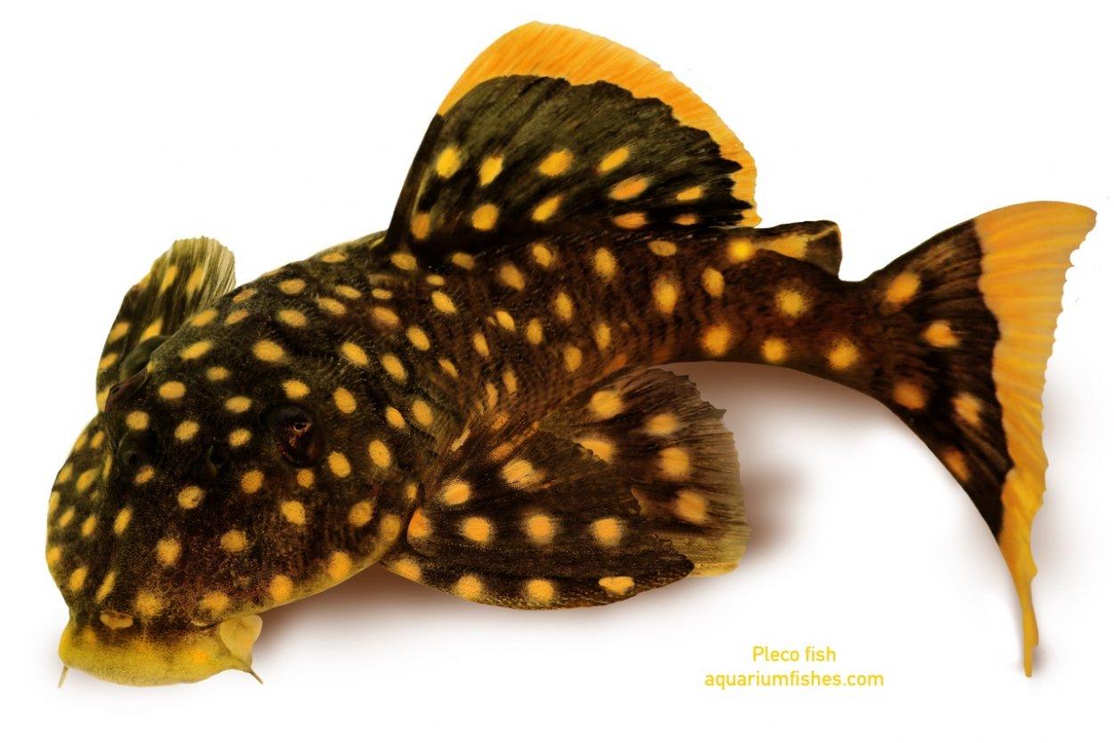 Golden nugget pleco catfish Plecostomus