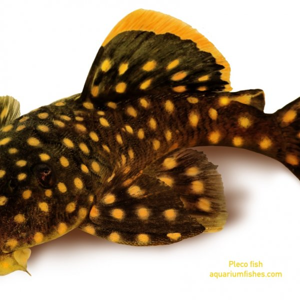 Golden nugget pleco catfish Plecostomus