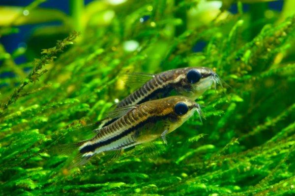 Pygmy Cory freshwater fish