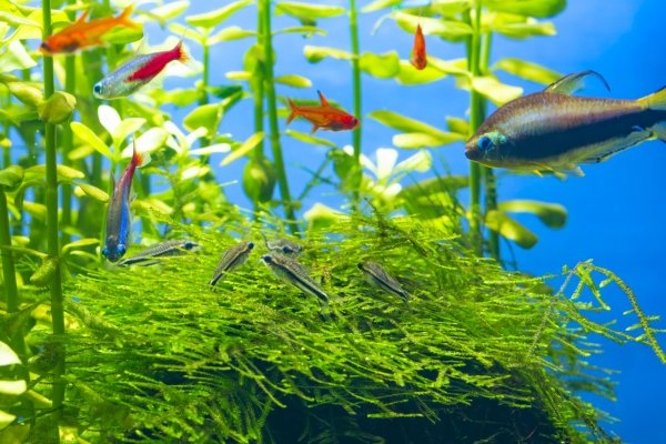 Pygmy Cory tank mates