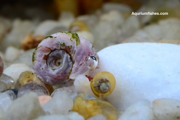 Ramshorn Snail - algae eating snails