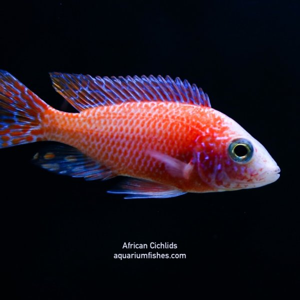 Red African cichlid fish