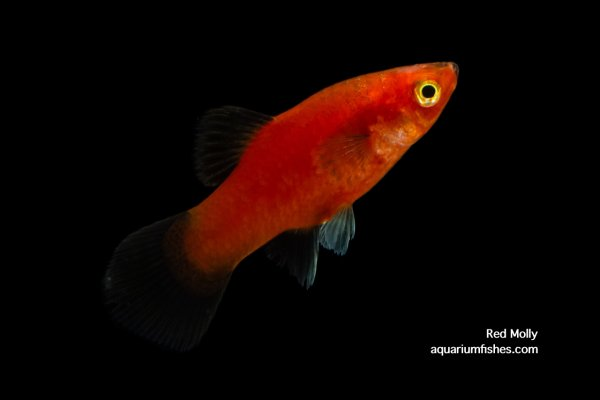 Red molly fish