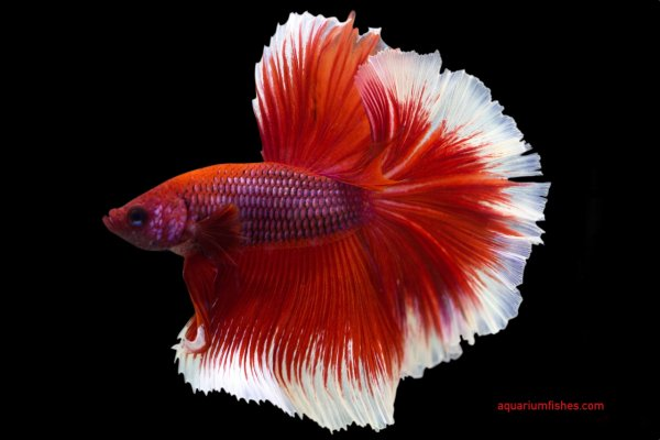 Red rose tail halfmoon betta fish