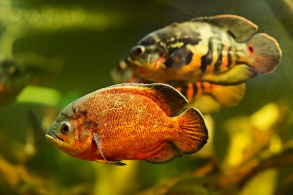 Tiger and red oscar fish