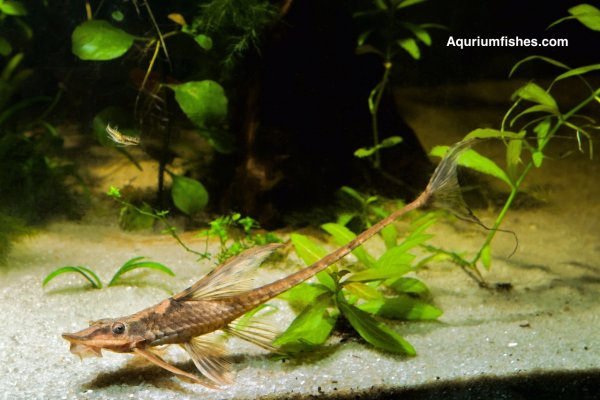 Twig catfish - Farlowella acus - algae eater fish