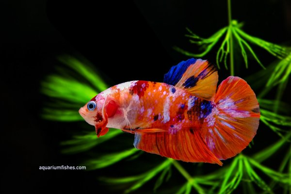 Types of betta fish