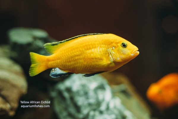 Yellow African cichlid fish